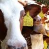 A&A - Červen - Mléčná farma Ratiboř